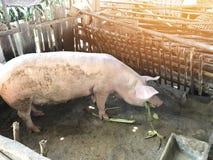 Azienda agricola di maiale nella campagna Fotografie Stock