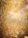Azienda agricola di olivo Fotografia Stock Libera da Diritti