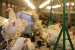 Azienda agricola di pollo Immagine Stock