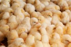 Azienda agricola di pollo, agricoltura Fotografia Stock Libera da Diritti