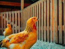 Azienda agricola di pollo del pollame degli animali Immagini Stock Libere da Diritti