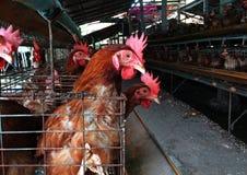Azienda agricola di pollo dell'uovo Fotografia Stock