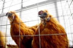 Azienda agricola di pollo giapponese Fotografia Stock Libera da Diritti