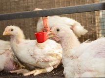 Azienda agricola di pollo moderna, produzione di carne bianca Fotografie Stock Libere da Diritti