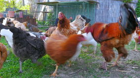 azienda agricola di pollo organica, campo domestico di allevamento bestiame del pulcino, erba verde stock footage