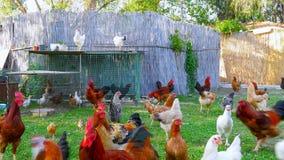azienda agricola di pollo organica, campo domestico di allevamento bestiame del pulcino, erba verde archivi video