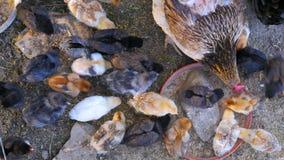 azienda agricola di pollo organica, campo domestico di allevamento bestiame del pulcino, erba verde video d archivio