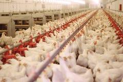 Azienda agricola di pollo, pollame Fotografia Stock