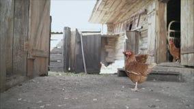 Azienda agricola di pollo, pollame Galline e gallo nella gabbia di pollo archivi video