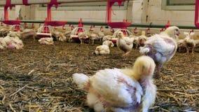 Azienda agricola di pollo, produzione del pollame video d archivio
