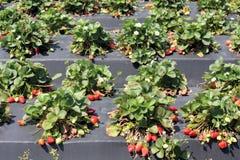 Azienda agricola di Stawberry Fotografia Stock