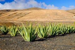 Azienda agricola di vera dell'aloe su Fuerteventura, Isole Canarie Immagine Stock Libera da Diritti