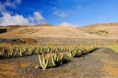 Azienda agricola di vera dell'aloe su Fuerteventura, Isole Canarie Fotografia Stock