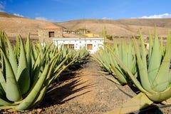 Azienda agricola di vera dell'aloe su Fuerteventura, Isole Canarie Immagine Stock