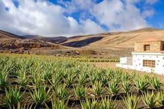 Azienda agricola di vera dell'aloe su Fuerteventura, Isole Canarie Fotografie Stock Libere da Diritti