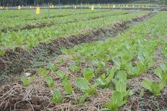 Azienda agricola di verdure di coltivazione coltivazione di insalata verde immagini stock
