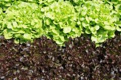 Azienda agricola di verdure di coltura idroponica fresca, azienda agricola di coltura idroponica della verdura di insalate Fotografia Stock