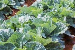 Azienda agricola di verdure del campo del cavolo Fotografia Stock Libera da Diritti