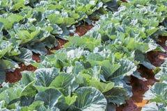 Azienda agricola di verdure del campo del cavolo Immagini Stock