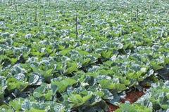 Azienda agricola di verdure del campo del cavolo Fotografia Stock