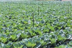 Azienda agricola di verdure del campo del cavolo Immagini Stock Libere da Diritti