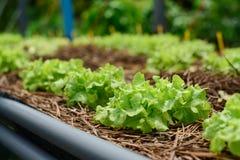 Azienda agricola di verdure idroponica Immagini Stock