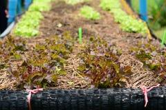 Azienda agricola di verdure idroponica Immagine Stock