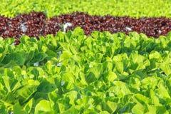 Azienda agricola di verdure idroponica dell'insalata Fotografia Stock Libera da Diritti