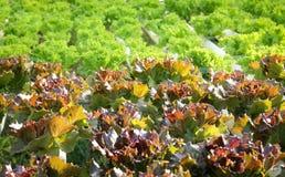 Azienda agricola di verdure idroponica dell'insalata Immagini Stock Libere da Diritti