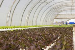 Azienda agricola di verdure idroponica organica di coltivazione alla campagna, Jordan Valley Fotografie Stock