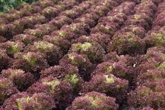 Azienda agricola di verdure idroponica organica di coltivazione alla campagna, Jordan Valley Fotografia Stock Libera da Diritti