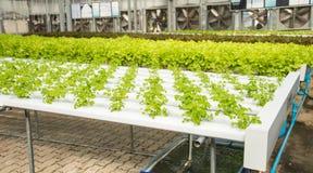 Azienda agricola di verdure idroponica organica di coltivazione, hydrop di coltivazione immagine stock libera da diritti