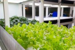 Azienda agricola di verdure idroponica organica di coltivazione Immagini Stock Libere da Diritti