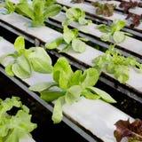 Azienda agricola di verdure idroponica organica di coltivazione - alto vicino Immagini Stock