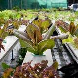 Azienda agricola di verdure idroponica organica di coltivazione - alto vicino Fotografie Stock Libere da Diritti