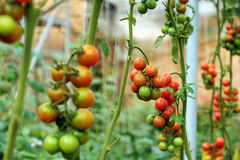 Azienda agricola di verdure sicura, giardino del pomodoro del Lat del Da Fotografie Stock Libere da Diritti