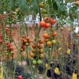 Azienda agricola di verdure sicura, giardino del pomodoro del Lat del Da Fotografie Stock