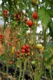 Azienda agricola di verdure sicura, giardino del pomodoro del Lat del Da Immagini Stock
