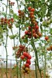 Azienda agricola di verdure sicura, giardino del pomodoro del Lat del Da Immagine Stock