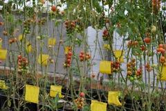 Azienda agricola di verdure sicura, giardino del pomodoro del Lat del Da Immagine Stock Libera da Diritti