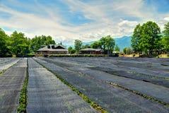 Azienda agricola di Wasabi Immagini Stock Libere da Diritti