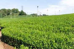 Azienda agricola fresca del tè verde Fotografia Stock