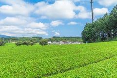 Azienda agricola fresca del tè verde in primavera, fila delle piantagioni di tè Japane Fotografia Stock Libera da Diritti
