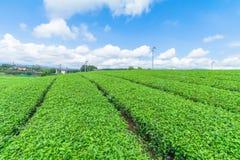 Azienda agricola fresca del tè verde in primavera, fila delle piantagioni di tè Japane Fotografie Stock Libere da Diritti