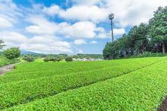 Azienda agricola fresca del tè verde in primavera, fila delle piantagioni di tè Japane Immagini Stock Libere da Diritti