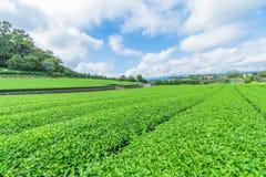 Azienda agricola fresca del tè verde in primavera, fila delle piantagioni di tè Japane Fotografia Stock