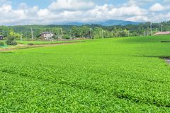 Azienda agricola fresca del tè verde in primavera, fila delle piantagioni di tè Japane Fotografie Stock