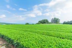Azienda agricola fresca del tè verde in primavera, fila delle piantagioni di tè Japane Immagine Stock Libera da Diritti