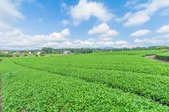 Azienda agricola fresca del tè verde in primavera, fila delle piantagioni di tè Japane Immagine Stock
