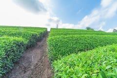 Azienda agricola fresca del tè verde in primavera, fila delle piantagioni di tè Japane Immagini Stock